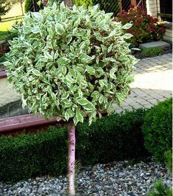 Дерен білий Elegantissima ( Висота прищепи 1.2 м)