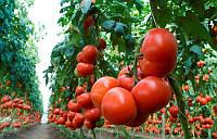 Семена томатаМахитос F1 (Rijk Zwaan)