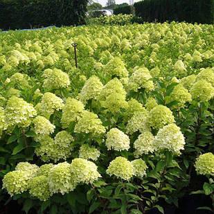 Саженцы Гортензии метельчатой Лаймлайт (Hydrangea paniculata Limelight)