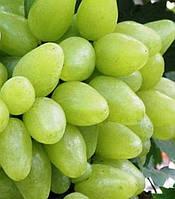 Бажена, саженцы винограда столового белого раннего