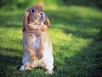 Спірохетоз кроликів.
