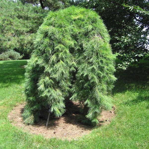 Pinus densiflora Pendula