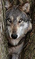 Фотообои на флизелиновой основе - Волк (ширина рулона -1,03м)