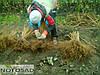 Поляки копают саженцы малины