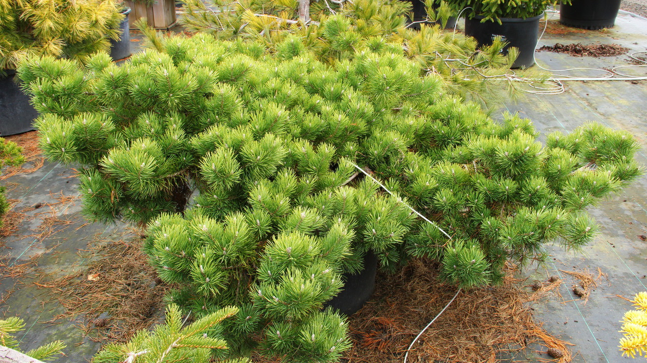 Pinus sylvestris Hillside Creeper