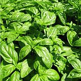 Базилик Зелёный семена 5 грамм Satimex Германия, фото 2