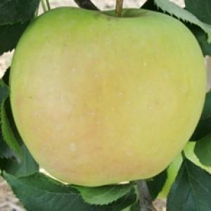 """Саджанці яблуні зимового сорту """"Муцу"""" 2-х літні"""