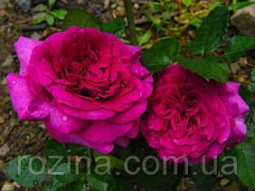 """Саджанці троянди """"Шартез де Парм"""""""