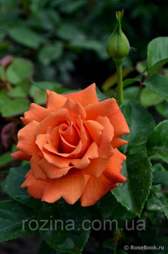 """Саджанці троянди """"Ізі Дас Іт"""""""