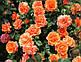 """Саджанці троянди """"Ізі Дас Іт"""", фото 2"""