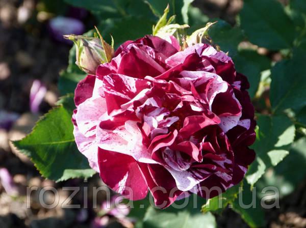"""Саджанці троянди """"Нью Имейджин"""""""
