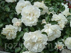"""Саджанці троянди """"Уайт Мейдиланд"""""""