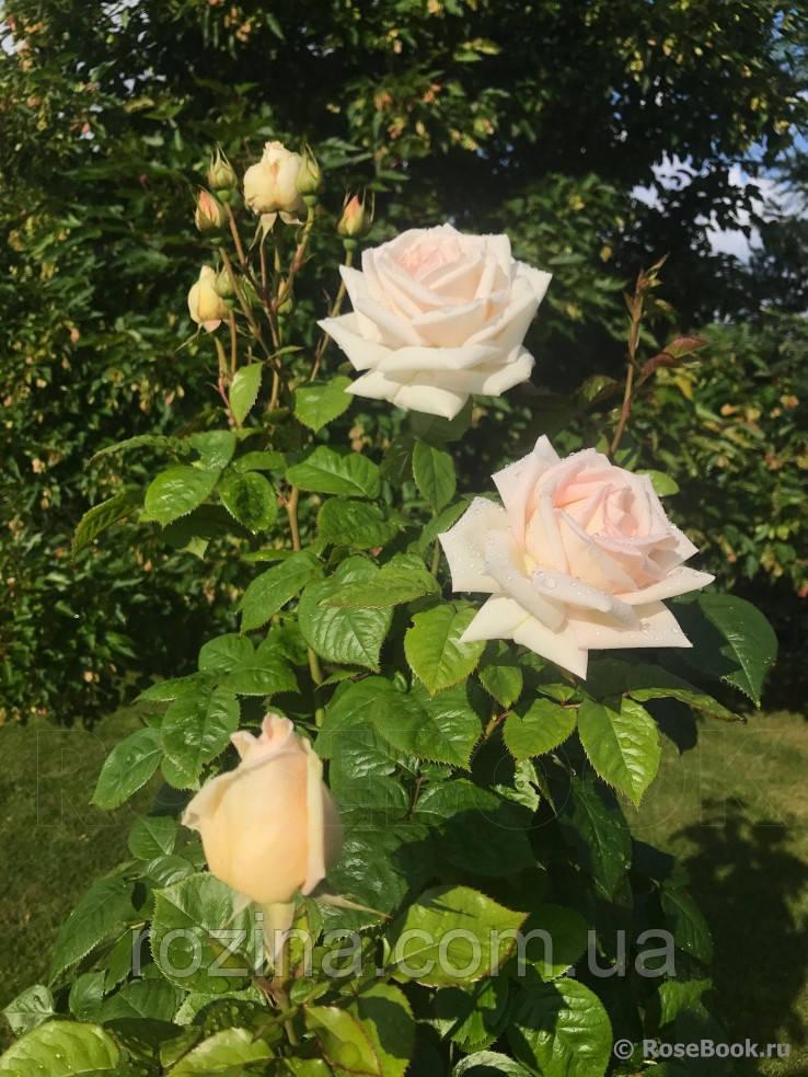 """Саджанці троянди """"Мадам Анисет"""""""