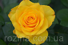"""Саджанці троянди """"Керио"""""""