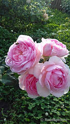 "Саджанці троянди ""Анисет Маринер"""