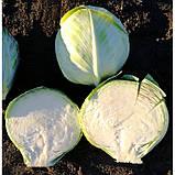 Семена капусты АЛЕКСА F1, 2500 семян, фото 2