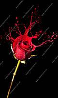 Фотообои на флизелиновой основе - Красная роза на черном фоне (ширина рулона -1,03м)