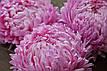 Астра Елегія насичено-рожева 0,2 г Садиба Центр, фото 3