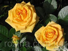 """Саджанці троянди """"Капучино"""""""