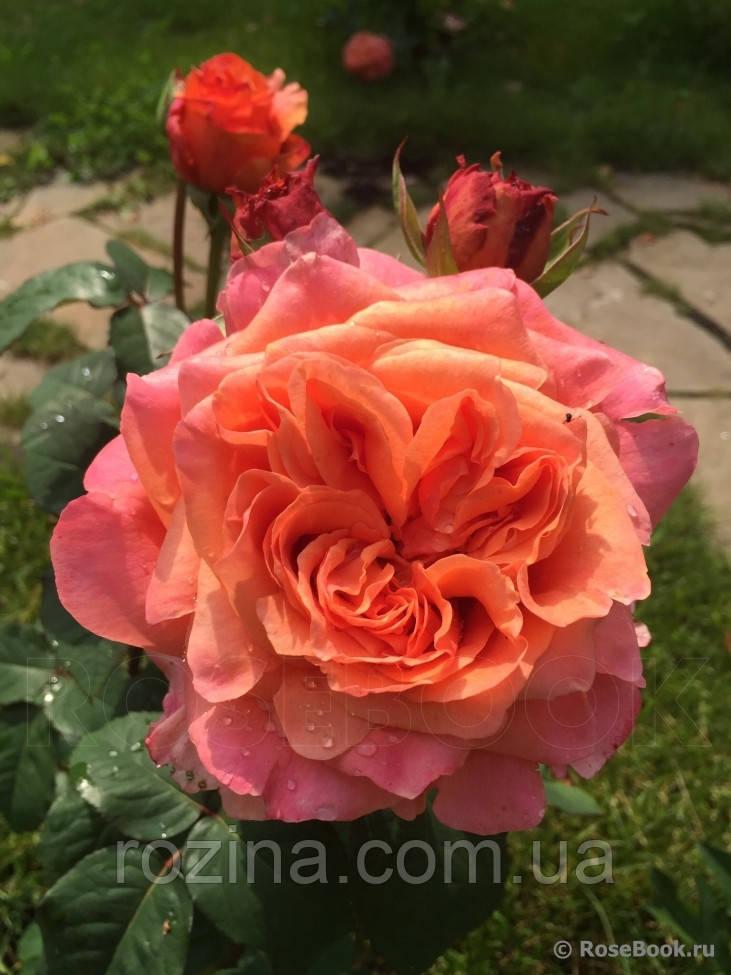 """Саджанці троянди """"Этруска"""""""