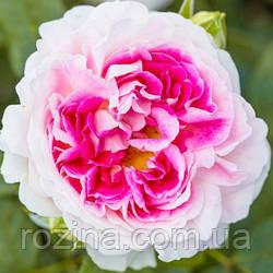 """Саджанці троянди """"Гернси крем"""""""