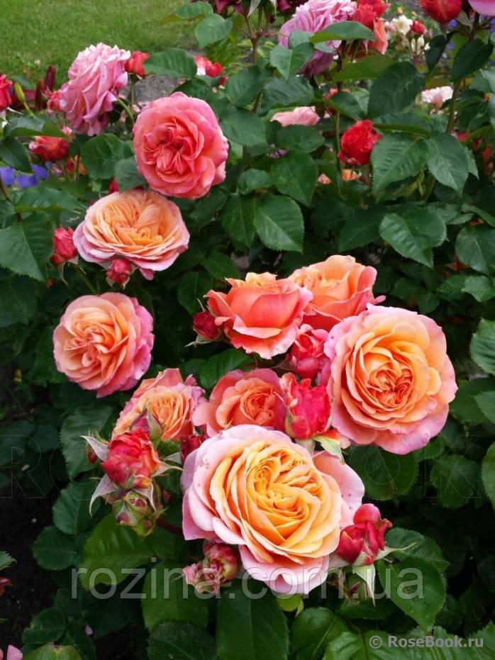 Саженцы розы Мэри Энн