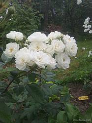 """Саджанці троянди """"Вотерлоу"""""""