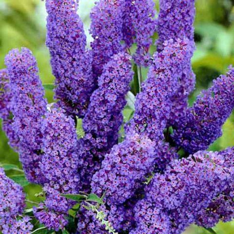 Буддлея Давида Дримин Пурпул (Buddleja davidii Dreaming Purple)