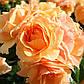 """Саджанці троянди """"Хандестат Росток"""", фото 3"""