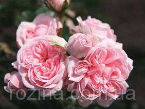 """Саджанці троянди """"Синдерелла"""""""
