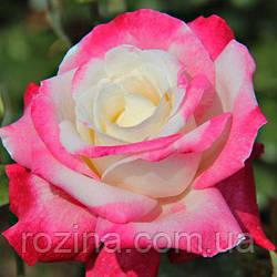 """Саджанці троянди """"Колумбина"""""""