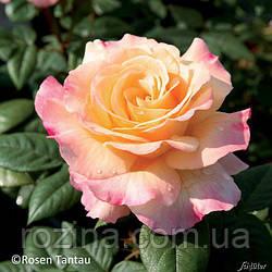 """Саджанці троянди """"Акварель"""""""