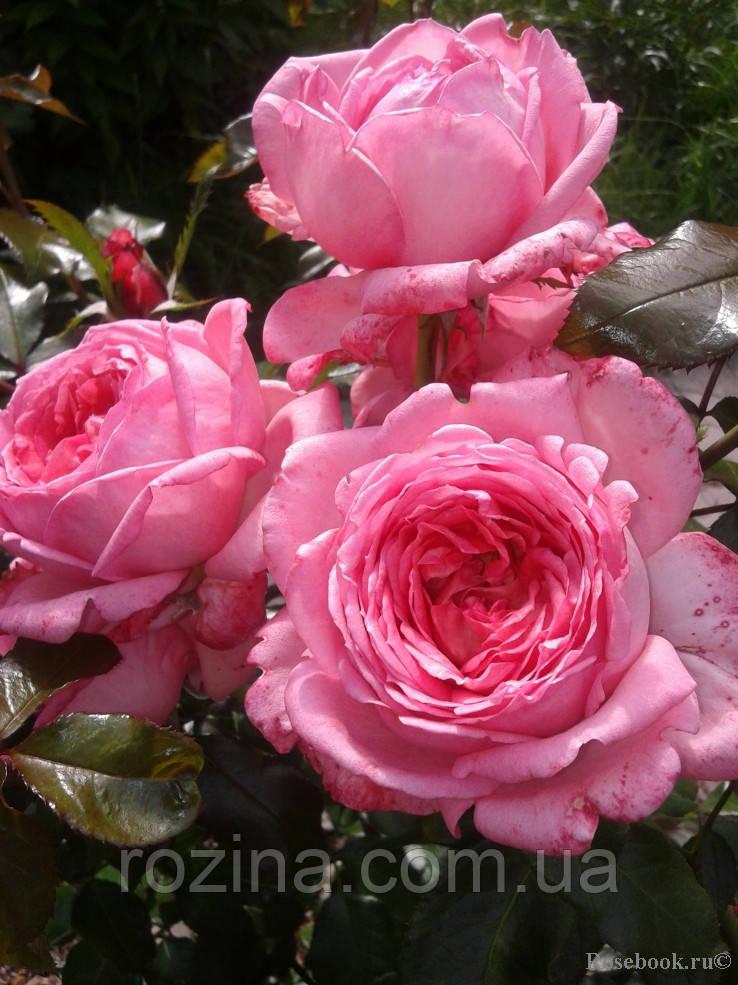 Саженцы розы Роз де  Мулинар