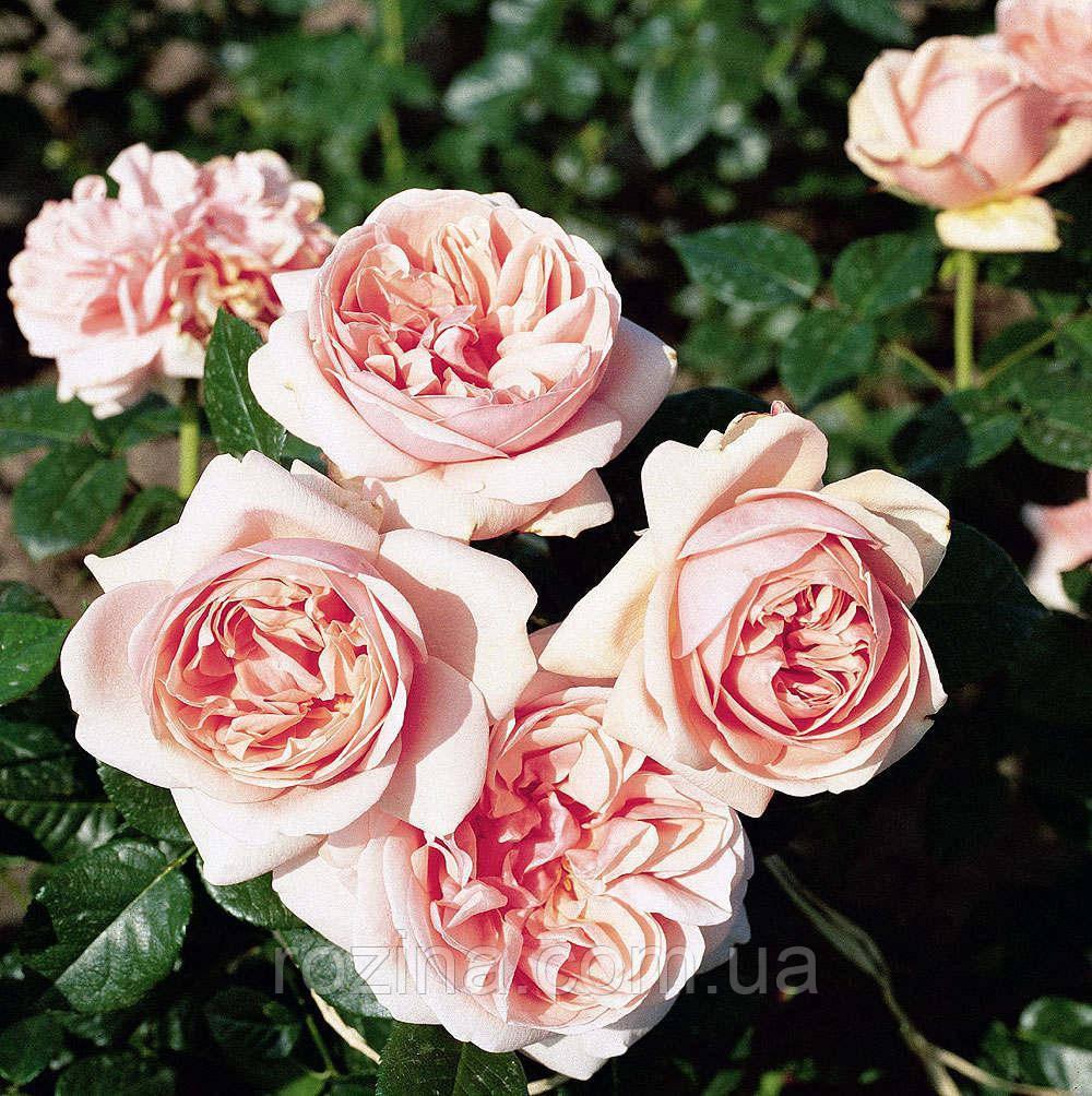 """Саджанці троянди """"Афродита"""""""