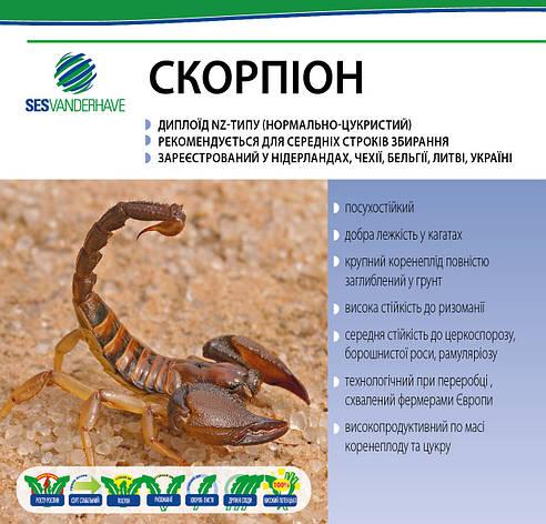 Скорпион семена сахарной свеклы / насіння цукрового буряка Скорпіон SESVanderHave стандарт, фото 2