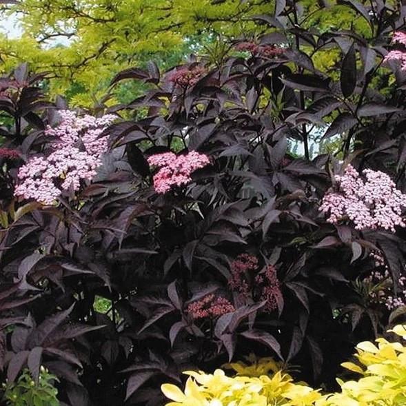 Саженцы Бузины черной Блэк Бьюти (Sambucus nigra Black Beauty Gerda)
