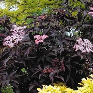 Бузина черная Блэк Бьюти (Sambucus nigra Black Beauty Gerda)