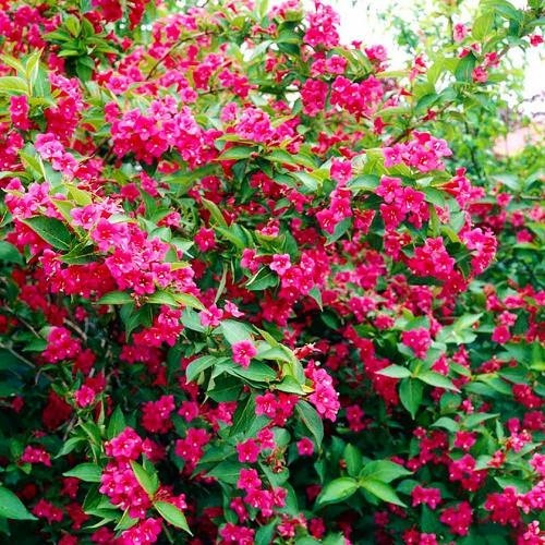 Вейгела флорида Бристол Руби (Weigela florida Bristol Ruby)