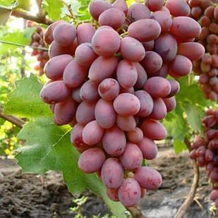 Саджанці Винограду Аарон - раннього терміну, великоплідний, урожайний