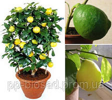 Лимон Пандероза (Однолетний, ОКС)
