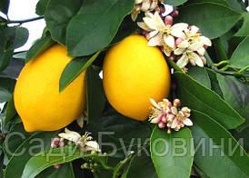 Лимон Новогрузинский (Однолетний, ОКС)