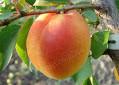 Саженцы абрикоса Особый Денисюка (Украина)