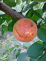 Саженцы абрикоса Крупноплодный Дуки (Украина)