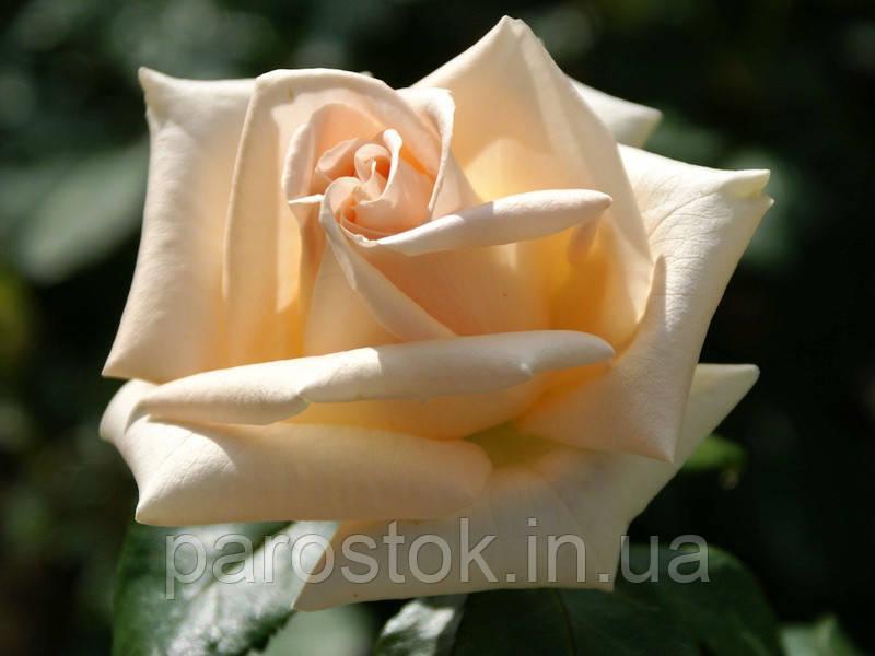 Роза Асиана. (с). Чайно-гибридная роза.