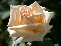 Роза Асиана. (с). Чайно-гибридная роза., фото 1