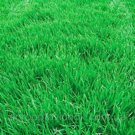Семена трава овсяница вівсяниця  1кг, фото 2