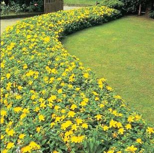 Саженцы Зверобоя кустарникового Хидкоут (Hypericum Hidcote Gold)
