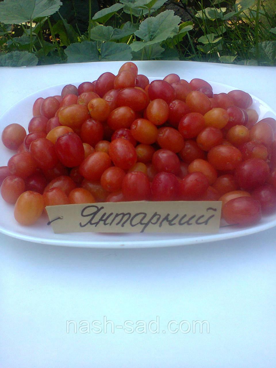 Саженцы кизила Янтарный(Украина)