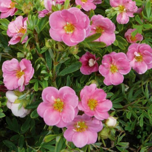Саженцы Лапчатки кустарниковой Лавли Пинк (Potentilla fruticosa Lovely Pink)
