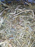 Козлятник лекарственный трава галега для снижения сахара